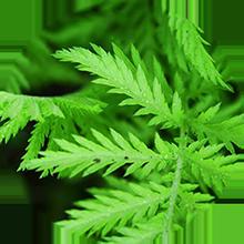 Hương lá xanh