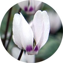 Hoa Cyclamen